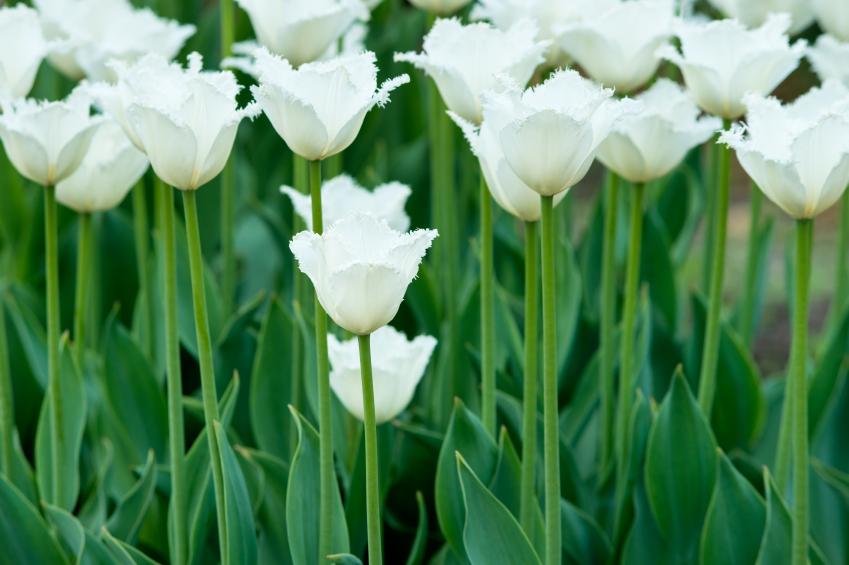 Tulips on flowerbed