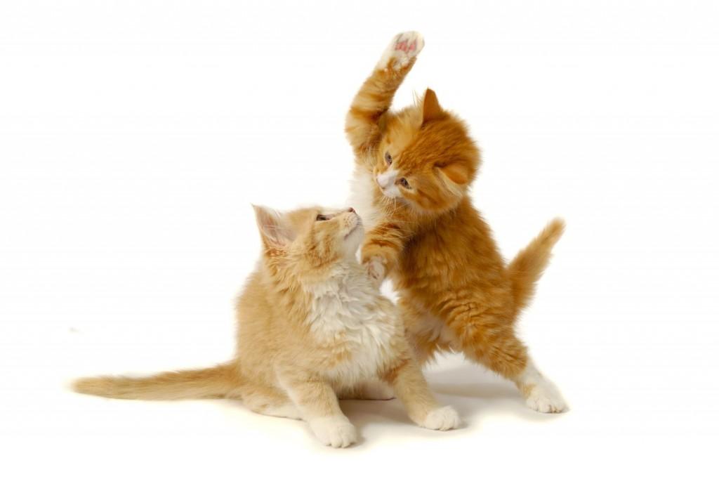fightingcats