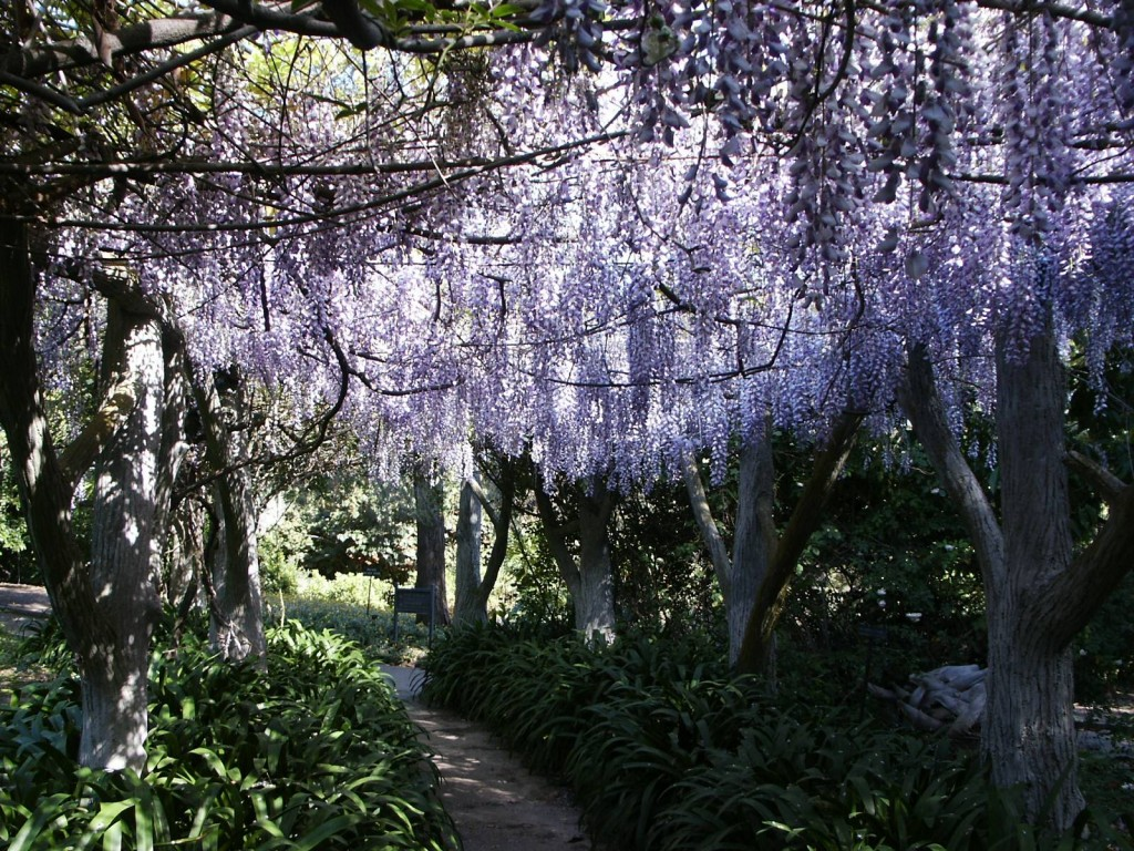 Wisteria in the Huntington Library Gardens