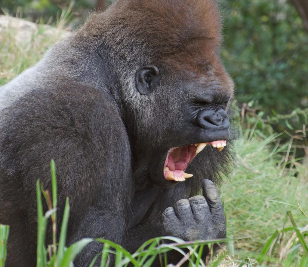 gorillagag