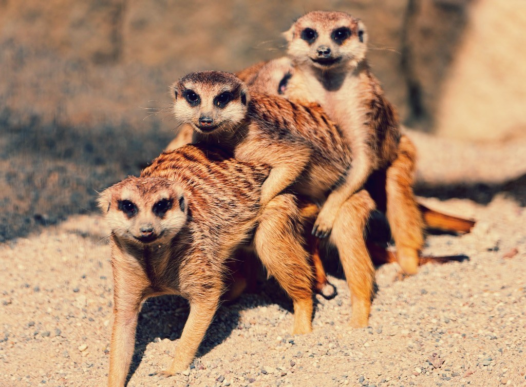 meerkats engaging in menage a trois