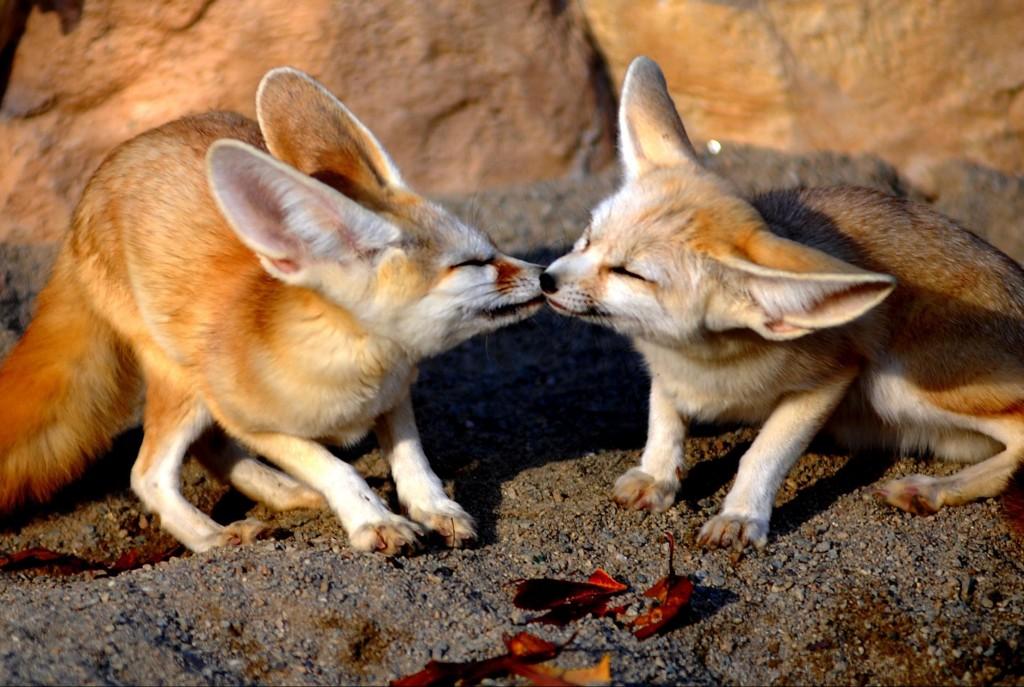 desert-fox-pups