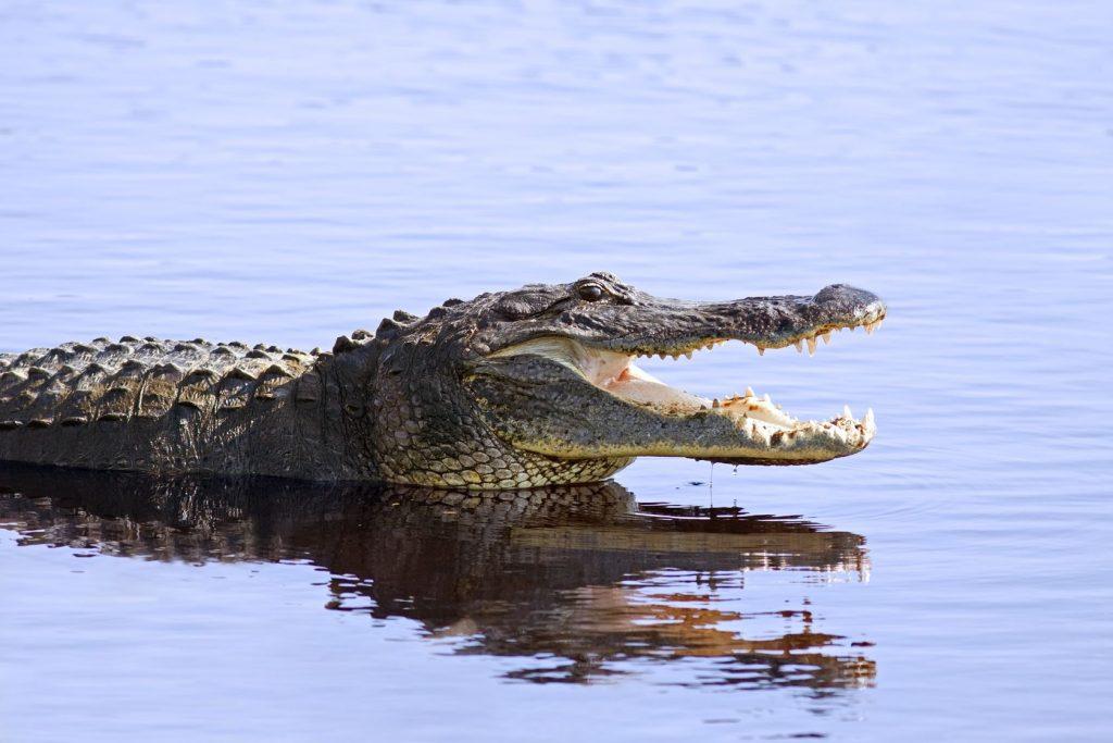 9981528 - an alligator in the wild at myakka lake,sarasota,florida.